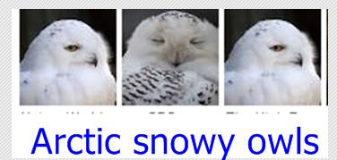 Artic Owls
